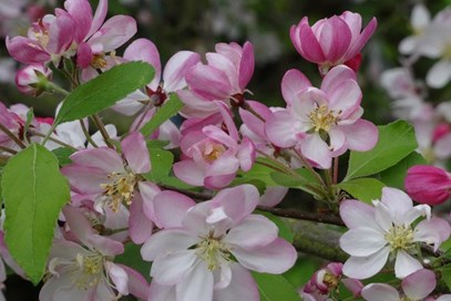 2nd Zoe Williams - Apple Blossom (UK) - April 2017 Class 21 Natures Best In April