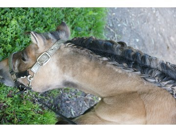 3rd The Jigsaw Team - Dolly(UK) - August 2017 Class 4 Best Plaits