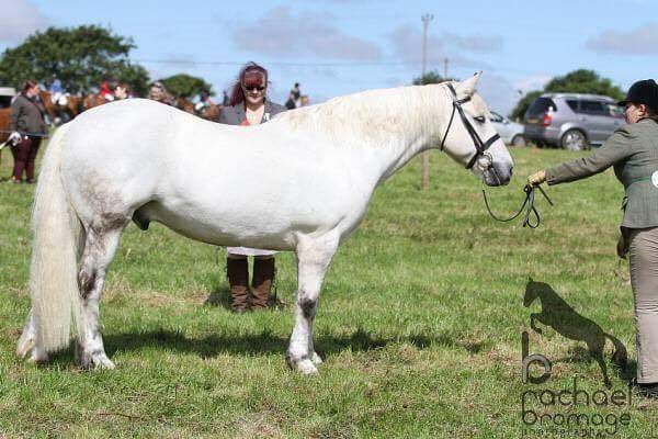 6th Sophie McCabe - Dylan(UK) - September 2017   Class 7 Condition & Turnout.